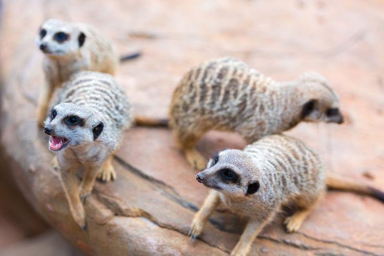 Group of meerkats at zoo