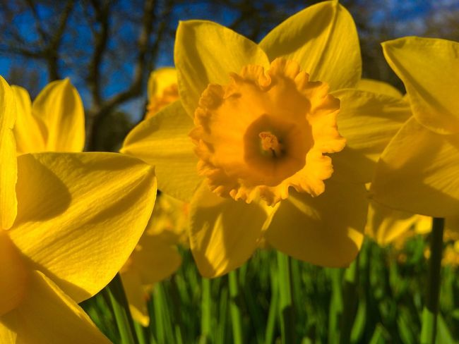 Lyndhurst Daffodils . Hampshire. UK. Taken with an iPhone #lyndhurst #daffodils #iphoneography