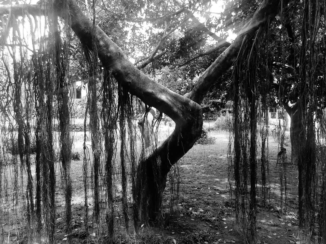 tree, tree trunk, nature, forest, day, tranquility, branch, outdoors, no people, beauty in nature, growth, scenics, water, rope swing, sky
