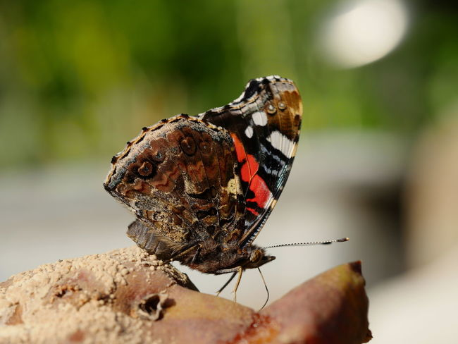 Red admiral Animals Bad Fruit Butterfly Focus On Foreground Insect Macro Nature No People Outdoors Red Admiral Rotten Fruit Animal Themes Close-up Taking Photos Close Up From My Point Of View Beauty In Nature Perspective