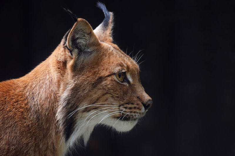 Close-Up Of Eurasian Lynx