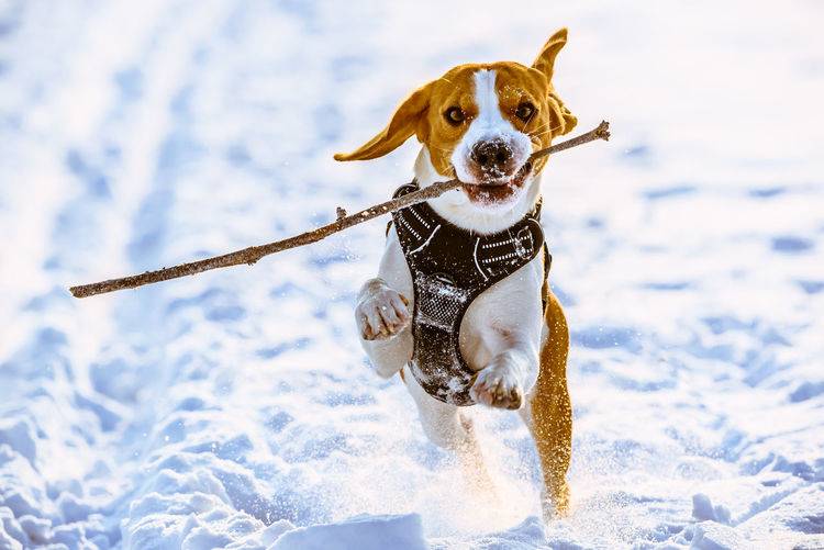 Beagle dog runs with a stick towards camera in a winter sunny day
