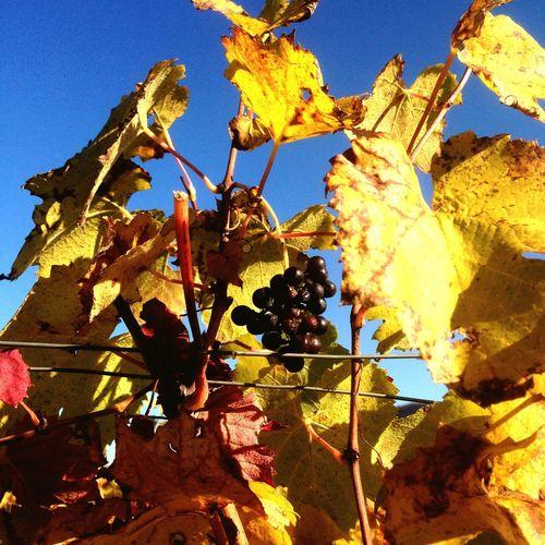 My Best Photo 2015 Alto Adige Italy Caldaro Autumn Grape leaves First Eyeem Photo