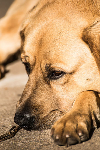 Animal Animal Body Part Animal Head  Animal Nose Animal Themes Brown Canine Close-up Depression - Sadness Dog Domestic Domestic Animals Looking Lying Down Mammal Napping No People One Animal Pets Relaxation Resting Sleeping Vertebrate