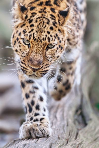 Danger Close Panther Leopard Amur Leopard Wildlife Scary Nature Animals Prowling