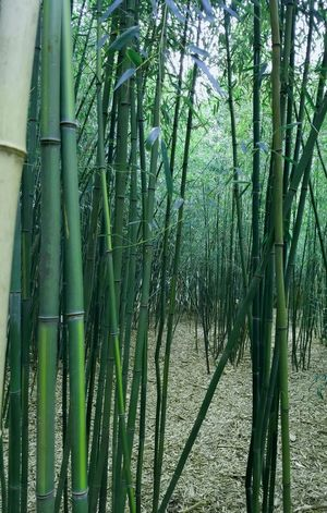 Obstruction Bamboo Plant Bamboo Bamboo Grove Botany Day Pattern Wooded Area Wooded Path