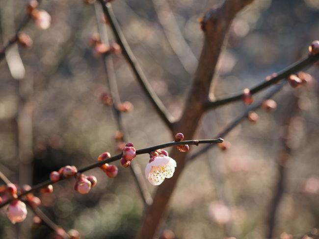 2016 Blossom Flower Gwangyang Korea Lifesketch M.zuiko M.zuiko 12-40mm F2.8 Pro Nature Olympus Olympus OM-D EM-1