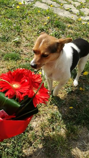 Flower Pets One Animal Dog Animal Themes Domestic Animals Nature Picoftheday Red Smelling The Flowers Colors Nofilter Daisy 🌼