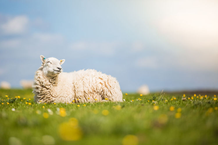 Animal Animal Themes Canon Canonphotography Day Domestic Domestic Animals Field Flower Grass Land Livestock Mammal Nature One Animal Pets Photography Plain Plant Relaxation Selective Focus Sheep Uk