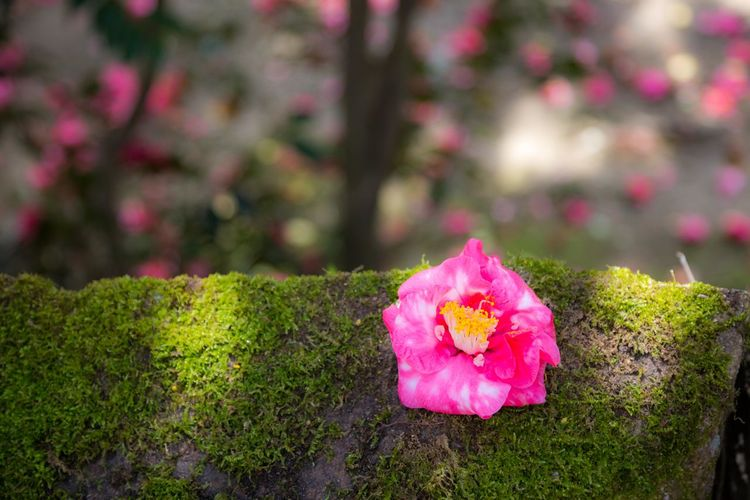落ち椿 Red Green Color Japan Photography Japan Spring Flower Head Flower Pink Color Close-up Grass Plant