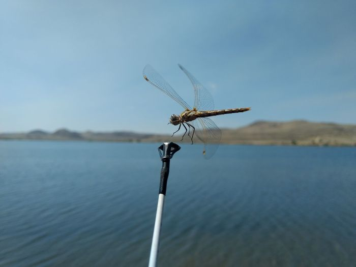 Dragonfly flying over lake
