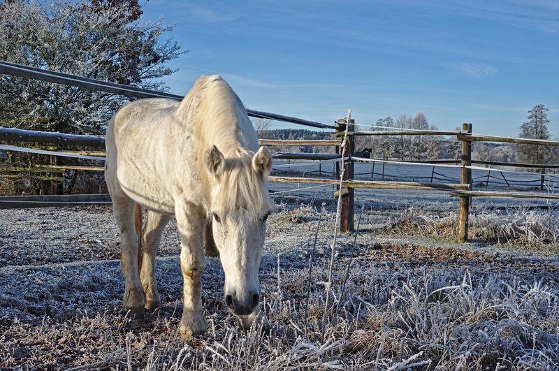 Horse Standing In Paddock In Winter