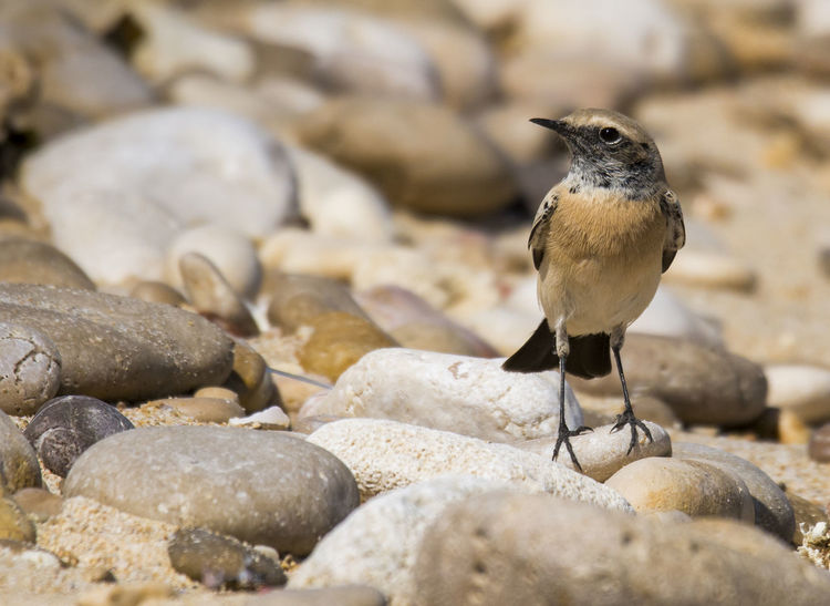 Desert Wheatear Animal Wildlife Rock - Object Animals In The Wild Outdoors Beach No People Nature Bird Sea Water Beauty In Nature Standing Birds🐦⛅ Day Bird Photos Songbird  Looking At Camera Side View