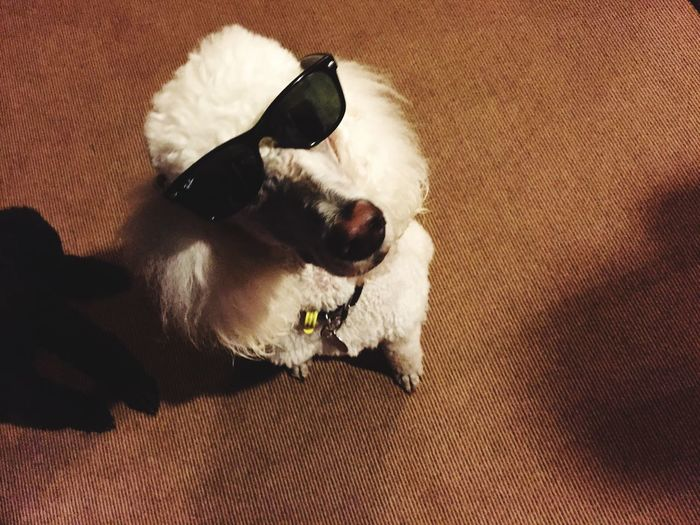 What the heck is a retro-doodle? Poodle Rayban Cute Pets Pets Corner Retro Classic Wayfarers Wayfarers Cool New Zealand