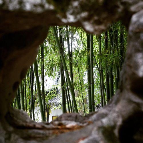 Bamboo in