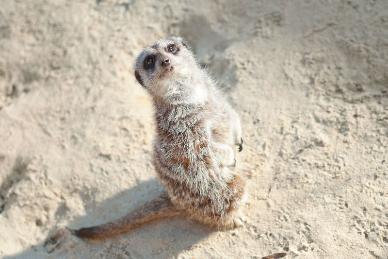 Cute meerkat. Alone Animals In The Wild Cute Pets Animal Themes Animal Wildlife Animals In The Wild Close-up Cute Day Meerkat Nature No People One Animal Outdoors Sand Water The Week On EyeEm Pet Portraits