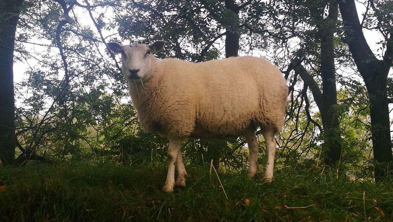 One Animal Mammal Animal Wildlife Nature Domestic Animals Animals In The Wild Animal Themes Sheep Sheeps