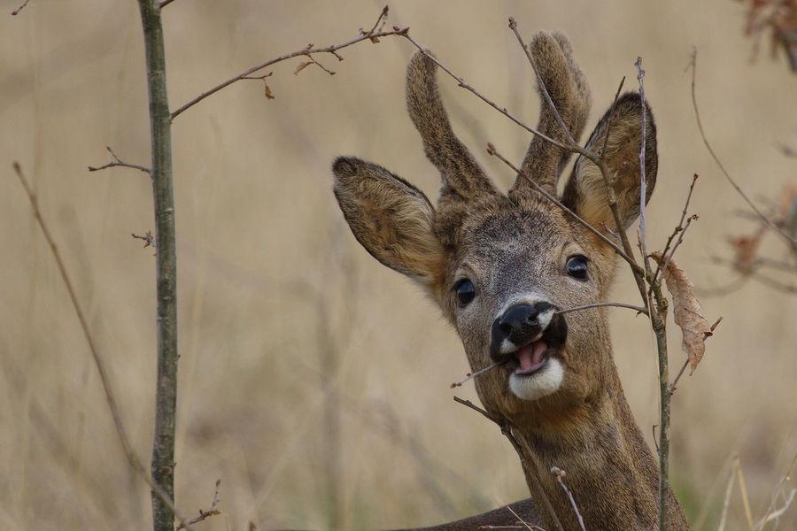 Animal Animal Themes Animal Wildlife Beauty In Nature Biesbosch Nature Ree Reebok Roe Buck Roe Deer Wildlife
