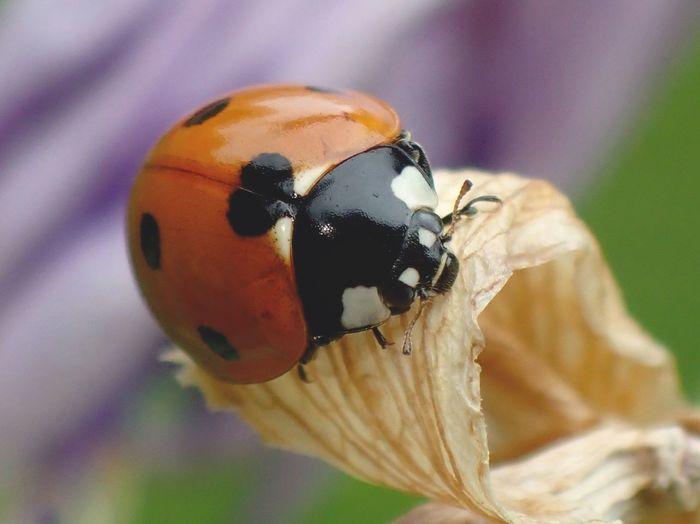 Adorable Beetle Beetle Environnement Flower Ladybug Looking For Food Sevenspot Ladybug Summer Beetle Good For Environment Good For Garden