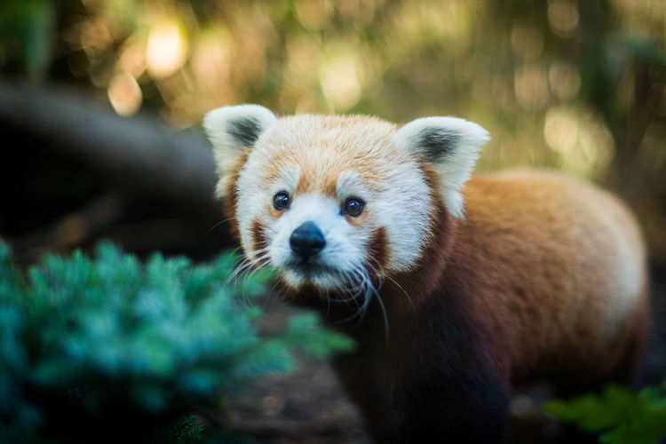 Cute young red panda looking away