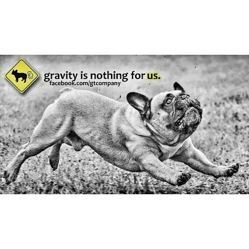 Frenchzone Frenchbulldog Gonzothunder Frenchies Gtcompany Buldog Bulldogs Dogsoninstagram Dogsareawesome Bullyfun Fkyingdogs Canon_official Littlefriendsphoto