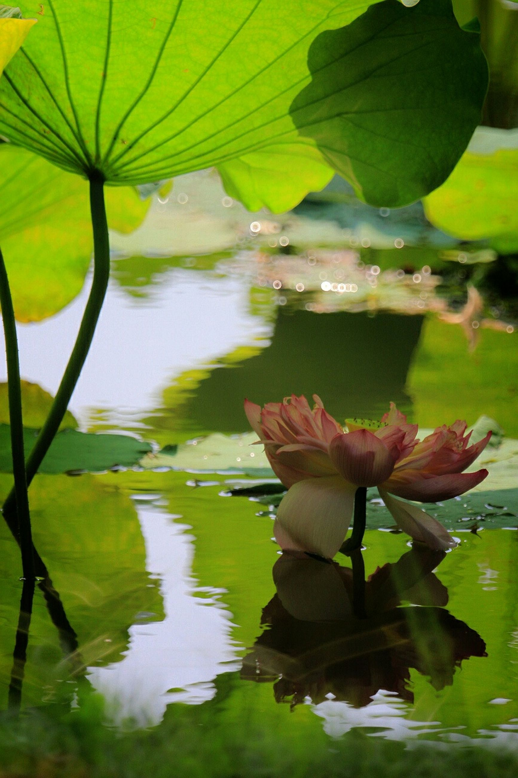 leaf, water, water lily, pond, flower, growth, freshness, lotus water lily, lake, floating on water, reflection, beauty in nature, fragility, petal, plant, nature, green color, waterfront, close-up, flower head