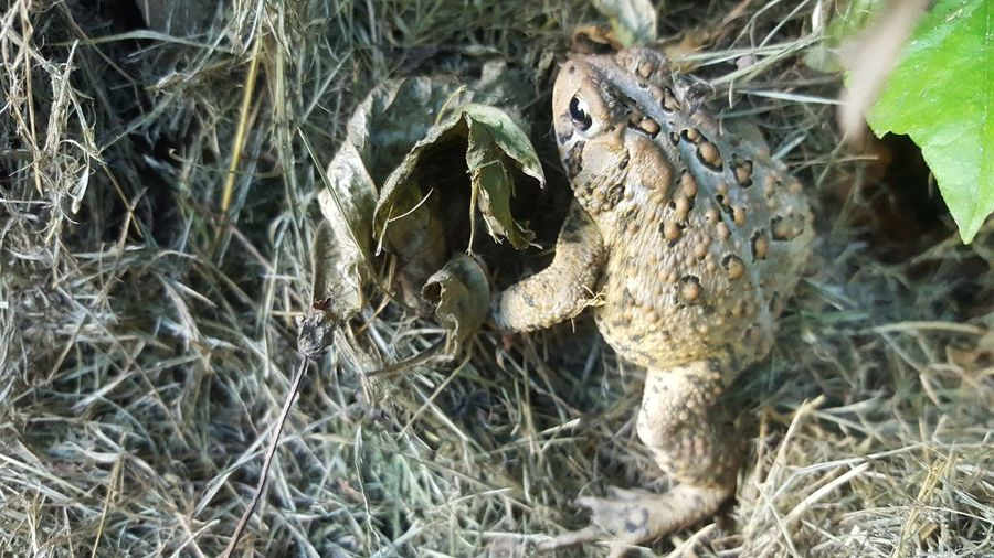 Toad Life Toad❤ Toad Nature Toad In Grass Toad Going Into Tree Toad And Leaves Amphibian Amphibians Amphibian Photography