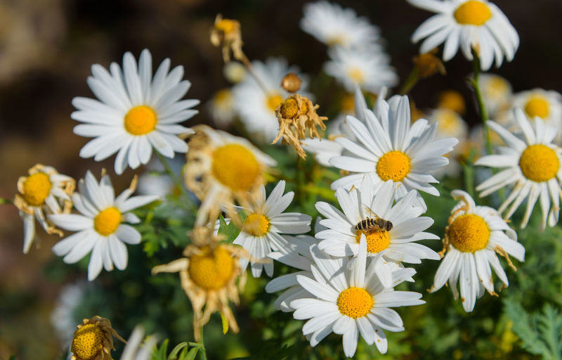 Uttarakhand Diaries Flowering Plant Flower Freshness Plant Vulnerability  Fragility Petal Growth Beauty In Nature Close-up Flower Head Inflorescence Yellow White Color Focus On Foreground No People Selective Focus Nature Daisy Pollen Uttarakhand Nainital Nainitaldiaries
