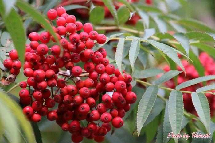 赤 赤い実 ナナカマド 街路樹 冬支度
