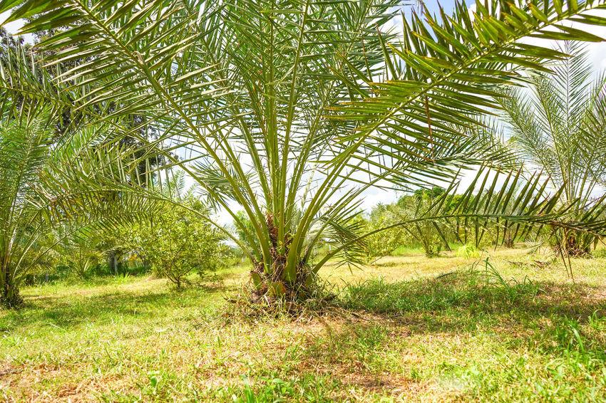 Barhi Dates Dates On Date Palm Barhi Date Palm Date Palm Garde Date Palm Tree Date Palms Land Leaf