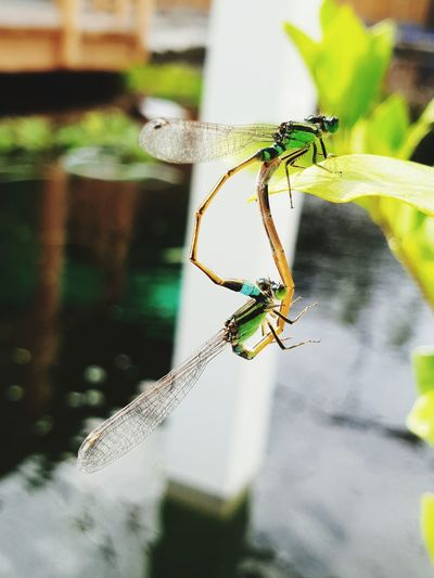 dragon fly Full
