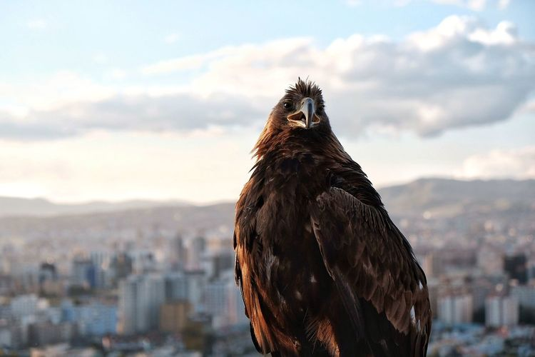 Giant Hawk Hawk Bird Of Prey Bird Sky Close-up Hawk - Bird Cityscape Animal Eye