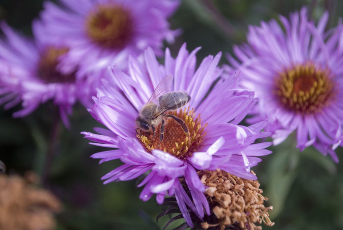 Animal Themes Animal Wildlife Animals In The Wild Beauty In Nature Bee Close-up Day Flower Flower Head Focus On Foreground Fragility Freshness Growth Insect Nature No People One Animal Outdoors Petal Plant Pollination Purple