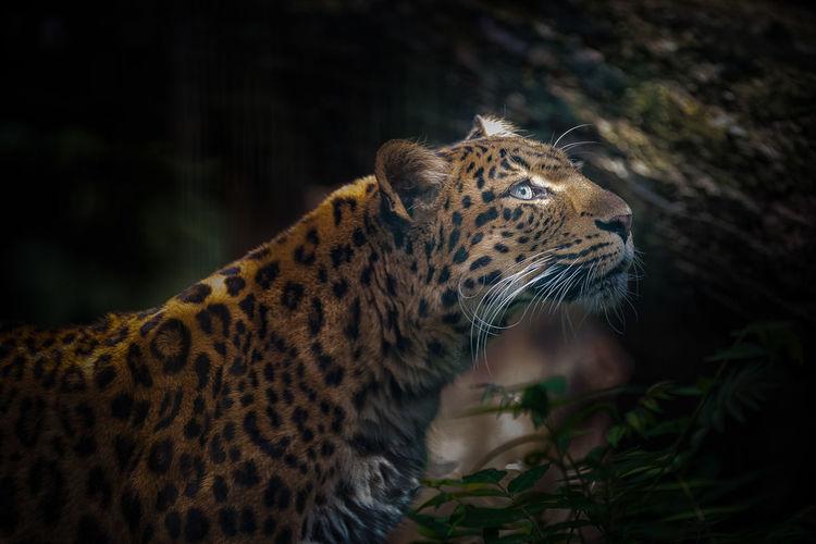 France Paris Zoophotography Jardin Des Plantes  Panthère De Chine Panthère Panther Zoo Captivity Panthera Pardus Japonensis