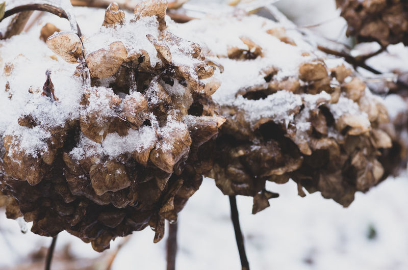frozen nature - hydrangeas flowers head Winter Snow Cold Temperature Close-up Focus On Foreground Food No People Frozen Nature Food And Drink Day Covering Plant Beauty In Nature White Color Freshness Brown Tree Ice Temptation Dried