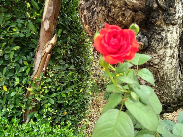 Close-up of rose plant on tree trunk