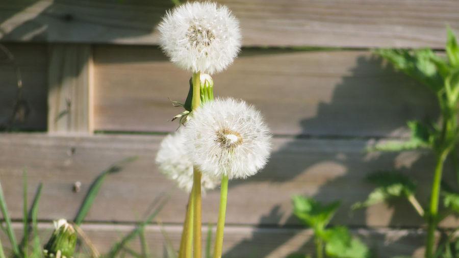 Flower Head Flower Uncultivated Springtime Wildflower White Color Dandelion Close-up Plant Springtime Decadence