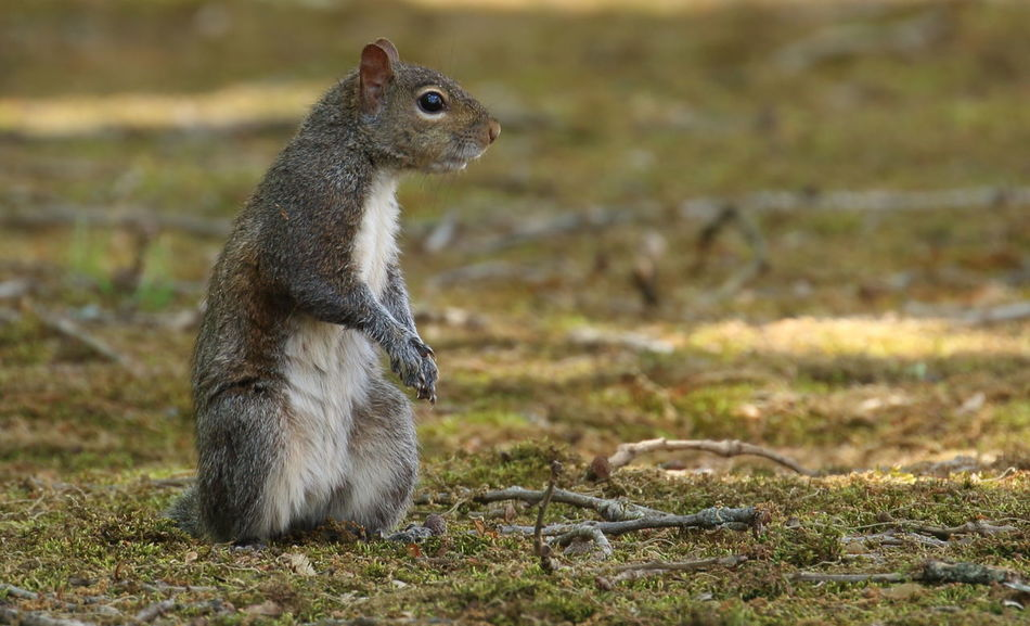 Uh...need my morning coffee!😎 Squirrel Grey Squirrel Squirrel Standing Nature Squirrel Closeup Animal Wildlife Animals In The Wild Animal Themes One Animal Close-up Squirrel On The Ground Mammal Outdoors in United States