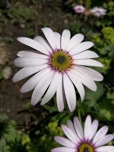 Flower Petal Plant Osteospermum Flower Head Fragility Nature Pollen Purple Day Close-up No People Beauty In Nature Focus On Foreground Coneflower Pink Color Eastern Purple Coneflower Outdoors Freshness