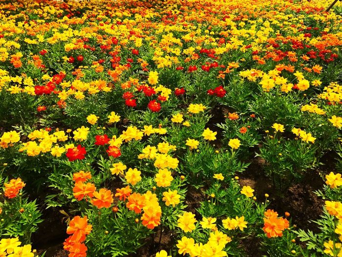 Garden of multi-colored flowers Flower Flowering Plant Plant Fragility Beauty In Nature Vulnerability  Freshness Growth Yellow Flower Head Multi Colored High Angle View Inflorescence Petal Nature No People Close-up Day Abundance Full Frame
