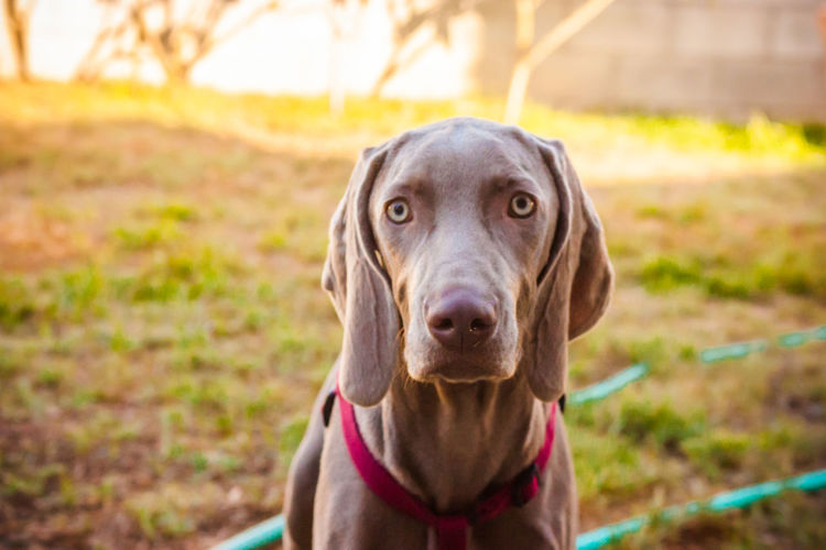Animal Head  Animal Nose Animal Themes Canine Close-up Dog Dog Love Dogs Dogs Of EyeEm Dogs Playing  Dogs Playing Together Dogslife Dog❤ Domestic Animals Focus On Foreground Front View German Weimaraner Looking At Camera Loyalty One Animal Outdoor Playtime Pets Playing Outside Portrait Snout