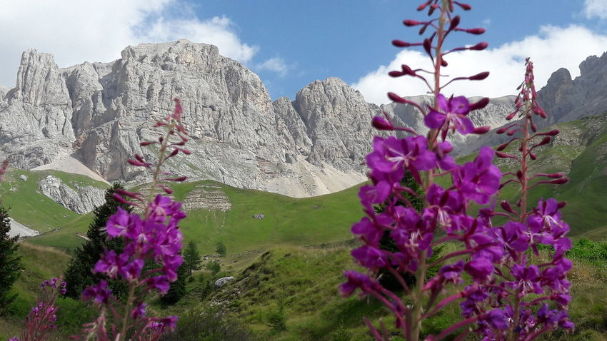 Dolomites Flower Purple Springtime Pink Color Mountain Sky Plant Landscape Cloud - Sky Snowcapped Mountain Wildflower Mountain Peak Magenta Flower Head Mountain Road Rocky Mountains Scenics Mountain Ridge Physical Geography Mountain Range