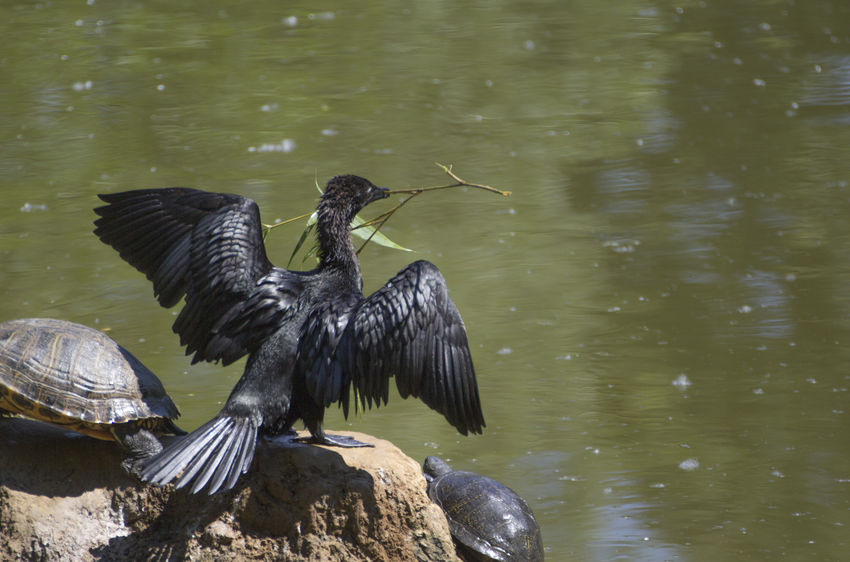 european shag Birdwatching Cormorant  Phalacrocorax Aristotelis Bird Birds Black European Shag Phalacrocorax Shag