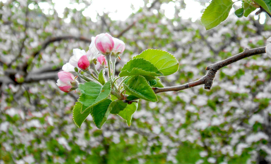 apple trees in blossom Aggriculture Agriculture Apple Orchard Apple Trees Garden Beauty In Nature Blossom Day Flower Fragility Freshness Growth Nature No People Outdoors