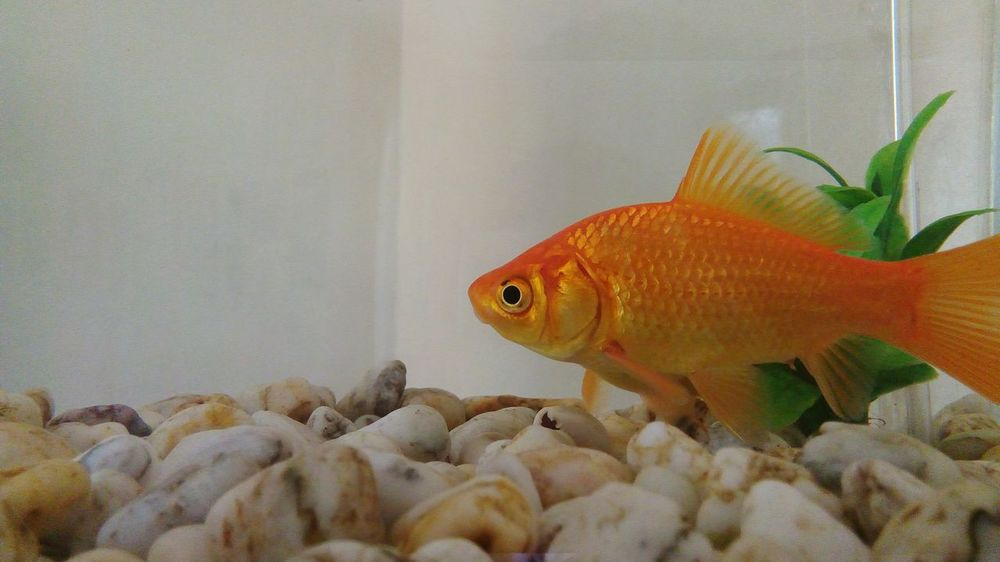 Goldfish Aquarium Goldfish Whitestone Fish Tank Aquarium Fish Feeder