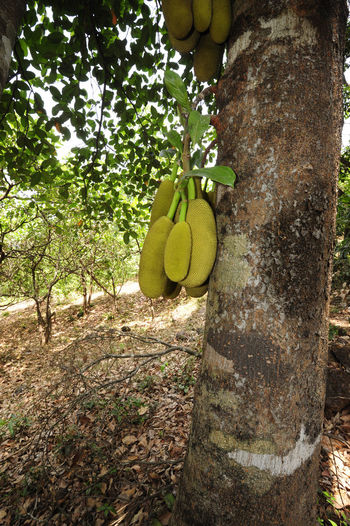Close-up of fruits hanging on tree trunk
