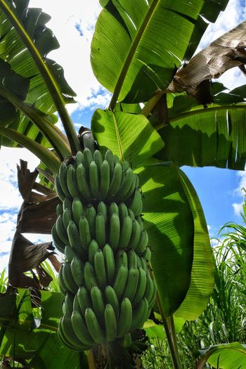 Banana Tropical Climate Fruit Nature Plant Banana Tree Food Outdoors Freshness Travel Destinations Uganda  Tropical Paradise Travel Bananas Plantains Africa Agriculture Food Security Food And Drink Tropical Plants Tropics Palm Tree Plantation Green Green Bananas