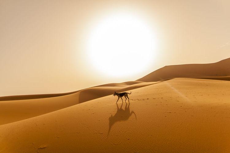 Dog wandering the desert