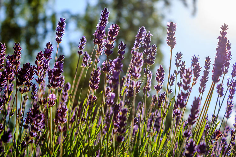 Sunshine through lavender flowers Beauty In Nature Close-up Day Flower Growth Lavendar Nature No People Outdoors Plant Sunlight