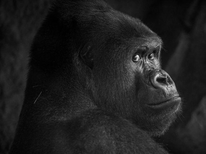 Close-up of gorilla at zoo